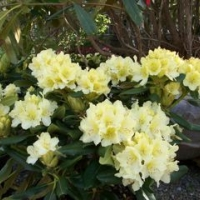 rhododendrums-yellow_2
