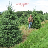abies-concolor, millbrook