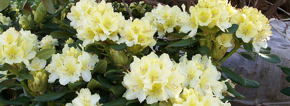 5Yellow-Rhododendrums