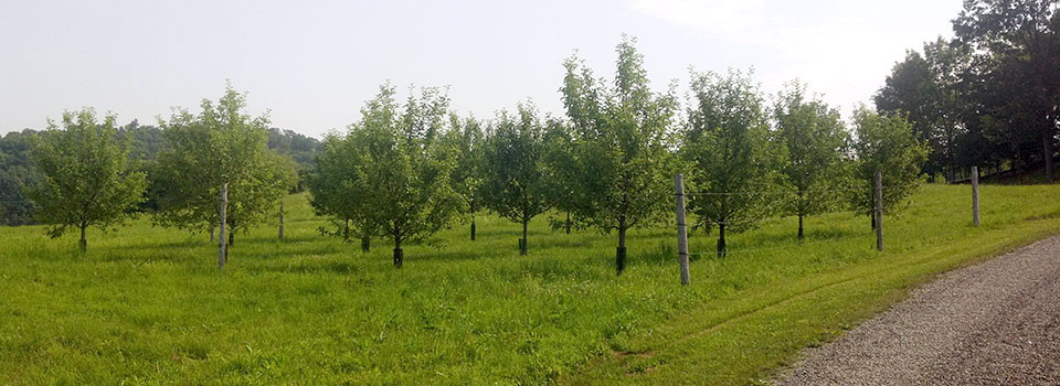 Apple-Orchard-2