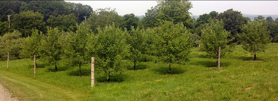 Apple-Orchard-3jpg